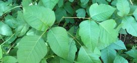 Poison Ivy or not? Quick tips to keep you rash-free